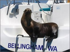 This photo released by the Flarry family shows a California sea lion aboard the family's 31-foot Catalina near Clark Island, Wash on Sunday Aug. 3, 2008. Lynnea Flarry and her family were picnicking Sunday afternoon Aug. 3, 2008 on Clark Island when her daughter-in-law spotted a sea lion aboard the family's boat. (AP Photo/Courtesy Flarry family)