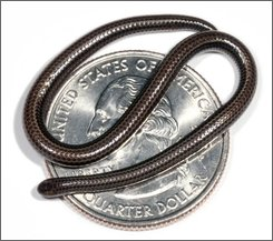 "In this photo taken in 2006 and released on Sunday, Aug. 3, 2008, by U.S. scientist S. Blair Hedges, an evolutionary biologist at Penn State University, the globe's tiniest snake is shown curled up on a U.S. quarter. Hedges said Sunday he has discovered the globe's tiniest species of snake in the easternmost Caribbean island of Barbados, with full-grown adults typically less than four inches (10 centimeters) long. He named the diminutive snake ""Leptotyphlops carlae"" after his herpetologist wife, Carla Ann Hass. (AP Photo/Penn State University, S. Blair Hedges)"