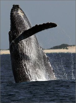 """FILE ** In this March 25, 2008 file photo, a humpback whale jumps at a whale watching point, off Okinawa, southwestern Japan, Tuesday, March 25, 2008. The humpback whale, nearly hunted into history four decades ago, is now on the """"road to recovery"""" and is no longer considered at high risk of extinction, an environmental group said Tuesday, Aug. 12, 2008. (AP Photo/Itsuo Inouye, File)"""