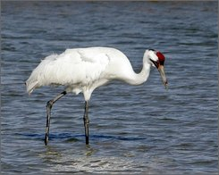In this Jan. 15, 2006 file photo, a whooping crane searches for food at the Aransas National Wildlife Refuge near Rockport, Texas.  Parts of the Endangered Species Act may soon be extinct. The Bush administration wants federal agencies to decide for themselves whether construction projects such as highways, dams and mines might harm endangered animals and plants. The new regulations, which don't require the approval of Congress, would reduce the mandatory, independent reviews government scientists have been performing for 35 years, according to a draft obtained by The Associated Press. (AP Photo/Ron Heflin, File)