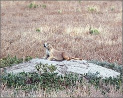 In a July 14, 2008 photo, a prairie dog stands at a burrow on the Buffalo Gap National Grasslands in South Dakota. Wildlife officials are working to protect prairie dogs and endangered black-footed ferrets from the plague that has hit the area. (AP Photo/Chet Brokaw)