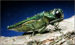 An adult emerald ash borer is shown in this photo released by Michigan State University. Insect experts are telling people in not to bother treating their ash trees for the destructive insect called the emerald ash borer. Now that the emerald ash borer has made its way to Missouri, state experts doubt they can stop its spread. Their focus is on slowing it down.  (AP Photo/Michigan State University, File)