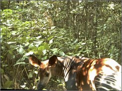This undated image provided by the Zoological Society of London, Thursday, Sept. 11, 2008,  shows an okapi in Virunga National Park in the Democratic Republic of the Congo proving that the species is still surviving there despite over a decade of civil conflict.  The Zoological Society of London says cameras set up in Congo have snapped the first photos of the rare okapi roaming wild. Okapi have characteristics like a deer and a giraffe but is most notable for its zebra-like leg stripes. Zoologists found evidence of an okapi population in the park through tracks a few years ago. Experts say the photos indicate a second group also exists there. The animal previously had only been glimpsed only in passing in the wild, but captive okapis are found in many zoos. (AP Photo/The Zoological Society of London/ho)