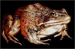 A red-legged frog is shown in this undated file photo originally supplied by the University of California Santa Barbara. The U.S. Fish and Wildlife Service  Tuesday, Sept. 16, 2008, proposed expanding protections for the endangered frog, providing four times as much habitat than was set aside for it two years ago. (AP Photo/University of California, Santa Barbara)