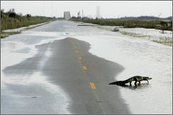 An alligator crosses Gulfway drive into Hurricane Ike flood waters on the Bolivar Peninsula,  Monday, Sept. 15, 2008, near High Island , Texas. (AP Photo/Tony Gutierrez)