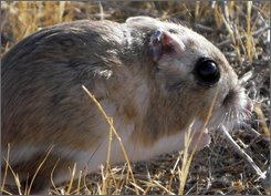 A giant kangaroo rat is seen in this undated photo provided by the Nature Conservancy. When the San Joaquin Valley was an arid grassy plain, giant kangaroo rats were the seed-hording gardeners that helped propagate native plants. Now scientists are turning to satellite technology to determine how climate change and rainfall patterns are affecting the endangered species' remaining habitat. Photos.(AP Photo/University of California, Berkeley, John Roser)
