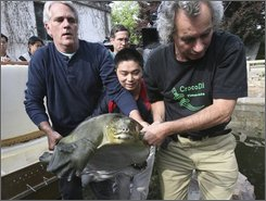 In this photo released by Wildlife Conservation Society, scientists transfer a female soft-shell turtles for mate at a zoo in Suzhou, China, May 6, 2008. Breathless scientists watched as they successfully mated. But the attempt to breed an endangered turtle's last known female with China's last known male has failed because the eggs didn't hatch, disappointed conservationists say. (AP Photo/Wildlife Conservation Society, Qi Zhenglin)
