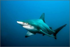 """A blacktip shark, Carcharhinus limbatus, is shown in this March 2008 file photo in the Indian Ocean off Aliwal Shoal, South Africa. Scientists have confirmed the second case of a """"virgin birth"""" in a shark. In a report in The Journal of Fish Biology, scientists said DNA testing proved that a pup carried by a female Atlantic blacktip shark in the Virginia Aquarium & Marine Science Center contained no genetic material from a male. (AP Photo/Institute for Ocean Conservation Science/Matthew D. Potenski)"""