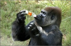 India?s only gorilla Polo takes a drink at the Sri Chamarajendra Zoological Gardens in Mysore, a city in southern India some 525 miles (845 kilometers) southeast of Mumbai, India, in this undated 2006 photo. Even though Polo is 6-feet tall, dark-haired, bilingual and good-natured, the 36-year-old silver back gorilla is lonely and still single after a fruitless eight year search, director of the zoo said in October 2008 . Polo, who was sent to Mysore from Ireland's Dublin Zoo in 1995, has been alone since 2000 when his mate 46-year-old Sumathi died. (AP Photo)