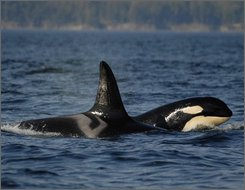 In this Sept. 2, 2006 file photo, provided by the Center for Whale Research, a female orca, or killer whale, travels with her offspring in waters around the San Juan Islands in Washington State. Seven killer whales are missing in from nearby Puget Sound and presumed dead in what could be the biggest decline among the sound's orcas in nearly a decade, scientists at the research center who carefully track the endangered animals said Friday, Oct. 24, 2008. (AP Photo/Courtesy The Center for Whale Reseach)