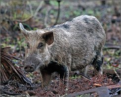 This undated photo released by the Wisconsin Department of Natural Resources shows a wild pig. For years now, dozens of giant, hairy hogs have run wild through the valleys and bottoms in this corner of the state, rooting up trees, devouring crops before they even sprout and keeping residents indoors. Now state investigators say they know who brought the beasts here, and they want him to pay. (AP Photo/Wisconsin Department of Natural Resources)