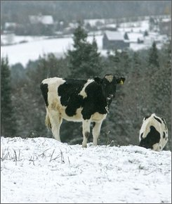 A cow grazes in a snow-covered pasture in East Montpelier, Vt.,on  Wednesday, Oct. 29, 2008. More snow and wind is in the forecast for Vermont Wednesday as the storm works its way through the northern part of the state. (AP Photo/Toby Talbot)