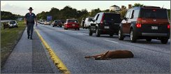 A wounded deer lies in the road after being hit by a car on the northbound lane of I-295 near Freeport, Maine, in this Wednesday, June 11, 2008 file photo. Fatalities from vehicle crashes with deer and other animals have more than doubled over the last 15 years, according to a new study by an auto insurance-funded highway safety group that cites urban sprawl overlapping into deer habitat. (AP Photo/Pat Wellenbach, file)
