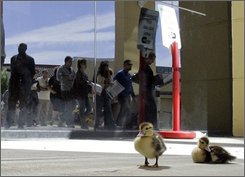 Two Muscovy ducklings are shown outside of the West Kendall Regional Library in Miani as voters wait in line to vote early Tuesday, Oct. 28, 2008. (AP Photo/Alan Diaz)