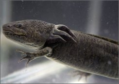  An Axolotl salamander, (Ambystoma mexicanum), swims in a tank at the Chapultepec Zoo in Mexico City, Sept. 27, 2008. Against all odds the Axolotl still survives amid Mexico City's urban sprawl in a maze of brackish canals and waterways that is all that remains of Lake Xochimilco, But scientists warn that the roughly foot-long amphibian is just a few years away from extinction, a victim of the draining of its lake habitat, deteriorating water quality, and what is perhaps the final stake in its heart