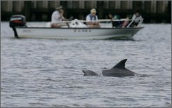 In this July 2, 2008, file photo, boaters look on as dolphins swim in the Shrewsbury River   in Sea Bright, N.J. In an effort to hear what two pods of wayward dolphins hear, federal scientists placed underwater microphones in a river near the Jersey Shore to record sounds that might be scaring them from heading back out to sea. (AP Photo/Mel Evans, File)