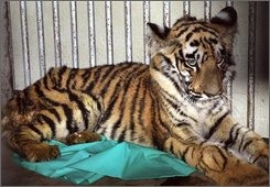 Juhi, a tiger cub named after a fragrant white flower native to India, is seen at the zoo in Nagpur, India, on Nov. 13, 2008. Veterinarians carried out a rare blood transfusion late Sunday, Nov. 15, 2008 on the wild tiger in a bid to save the abandoned 7-month-old cub that had been attacked and beaten by angry villagers in central India, officials said Monday. (AP Photo)