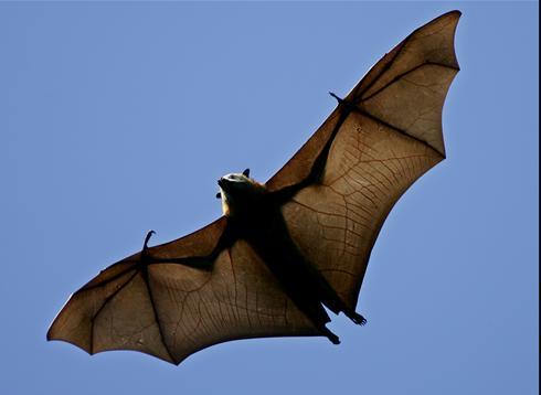 australia bats dead massive 100 000