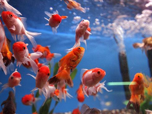 ... pets, including fish , largely to fight a glut of abandoned animals at