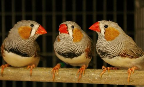 Birds still finding their voices sing better when girl birds are