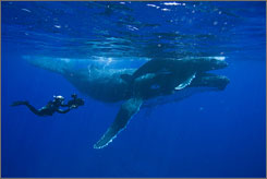 Close-up: Cameraman Doug Allan films mother and baby humpback whales off Tonga in the South Pacific.