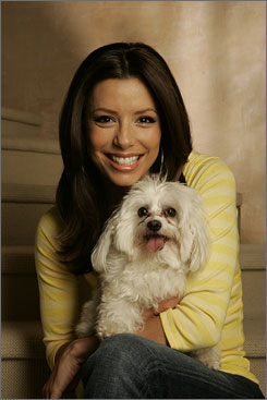 Juggles many roles: Desperate Housewives actress Eva Longoria, at her Los Angeles home with her Maltese, Jinxy, is host and executive producer of Tuesday's ALMA Awards, which honor Hispanic performers.