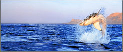 A Great White shark launches out of the water on Discovery's Air Jaws: Sharks of South Africa .