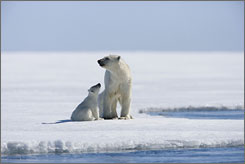 They're hot: Polar bears are the stars in the environmental fable Arctic Tale.