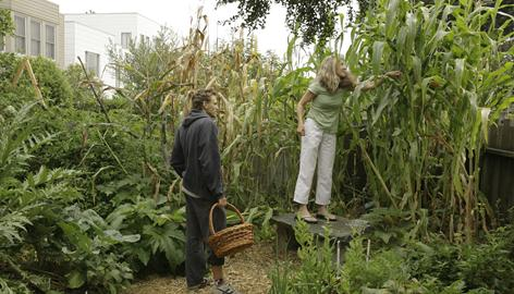 MyFarm gardener Max Goldstein checks out the corn patch in Anne Fisher Vollen?s backyard in San Francisco. MyFarm is an enterprise that puts vegetable gardens into people's backyards, then sends a gardener once a week to do upkeep and harvest, leaving a weekly basket of fresh produce behind.