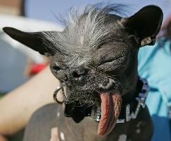 "Elwood won the Ugliest Dog title in 2007. His owner, Karen Quigley, says Elwood takes it all in stride: ""I think he's proud of who he is. There's a prance in his step that is very confident."""