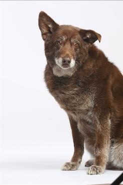 Rufus, a malamute/shepherd mix, suddenly lost all function in his hind legs. Thanks to acupuncture, water therapy, patience and persistence, Rufus is no longer paralyzed from the shoulders back.