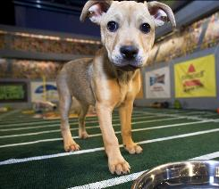 "The Puppy Bowl: Animal Planet's ""big game"" kicks off at 3 p.m. ET/PT on Super Bowl Sunday."
