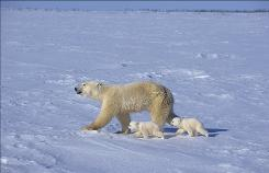 A polar bear mother and two cubs set off across sea ice in search of food in Earth, opening Wednesday.