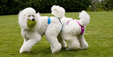 "For female poodles, the Pants for Dogs line has ""thongs,"" inspired by the need of poodle owners to obtain panties that don't crush those hip poms called rosettes."