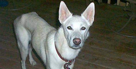 Early years weren't kind to handsome shepherd/husky Ice. Skittish and nervous, he had been dumped at a shelter and lived there for 12 months. Then along came a loving couple who changed all that.