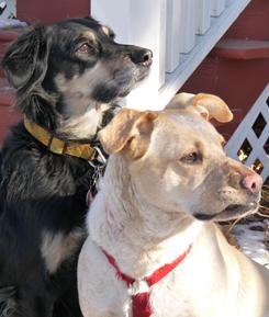 Rescued mutt Jasper, left, is teaching Noelle, the foster, how to watch and protect home and hearth. Readers asked for tips on how they, too, can better work with fosters, so animal behavior expert Lee Livingood has come to the rescue.