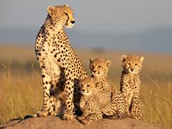 In Kenya's Masai Mara Preserve: African Cats closely follows a cheetah named Sita as she protects her cubs from hyenas.