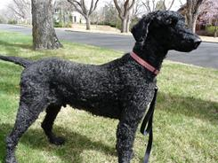 Connie Miller's dog, a standard poodle named Skylar, got an unplanned buzz cut, removing his top notch and tail pom, and shaving his body to skin-close length, after it was found he has lice.