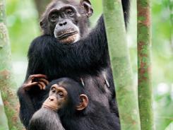 Disney's documentary, 'Chimpanzee,' tells the story of orphaned chimp Oscar and his adoptive caretaker Isha.