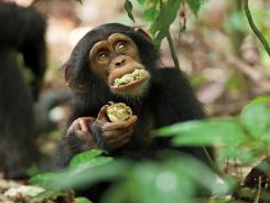 Monkey business: Oscar, star of 'Chimpanzee,' chows down on Sacoglottis fruit.
