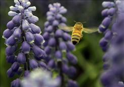 The continuing and unexplained disappearance of honey bees, which pollinate billions of dollars worth of crops annually, may cause food prices to jump.