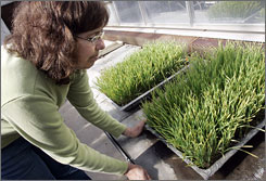 University of Minnesota researcher Lucy Wanschura views wheat infested with stem rust, a new strain of fungus causing widespread destruction overseas.