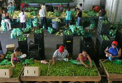 Workers repackage key limes and cabbage from Mexico at ISPE Produce at the McAllen Produce Terminal Market, a focus of the salmonella probe.