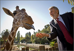 Men's Wearhouse CEO George Zimmer feeds Benghazi, a giraffe at the Oakland Zoo, where he is a baord member, earlier this month.