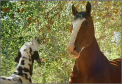 After featuring Clydesdales in a 2008 Super Bowl ad, Anheuser-Busch is looking at multiple Clydesdales ads for 2009.