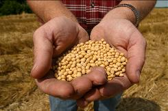A farmer holds Monsanto's Roundup Ready Soy Bean seeds at his family farm in Bunceton, Mo. Confidential contracts detailing Monsanto Co.'s business practices reveal how the world's biggest seed developer is squeezing competitors, controlling smaller seed companies and protecting its dominance over the multibillion-dollar market for genetically altered crops.