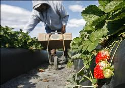 A worker picks strawberries in a Plant City, Fla., field in January, but freezing temperatures stunted the growth of much of the crops. Now, though, the fruit is hitting the market.