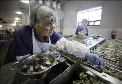 Lela Anderson fills cans with sardine steaks at the Stinson sardine cannery in Gouldsboro, Maine. Anderson has worked at the cannery for 54 years.