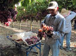 "Benjamin Reynosa, 49, of Orange Cove, Calif., picks table grapes near Fowler, Calif. ""There are very few gringos out here,"" said the legal U.S. resident."