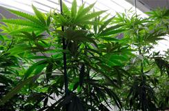 Marijuana plants grow in a Denver warehouse in October 2010.